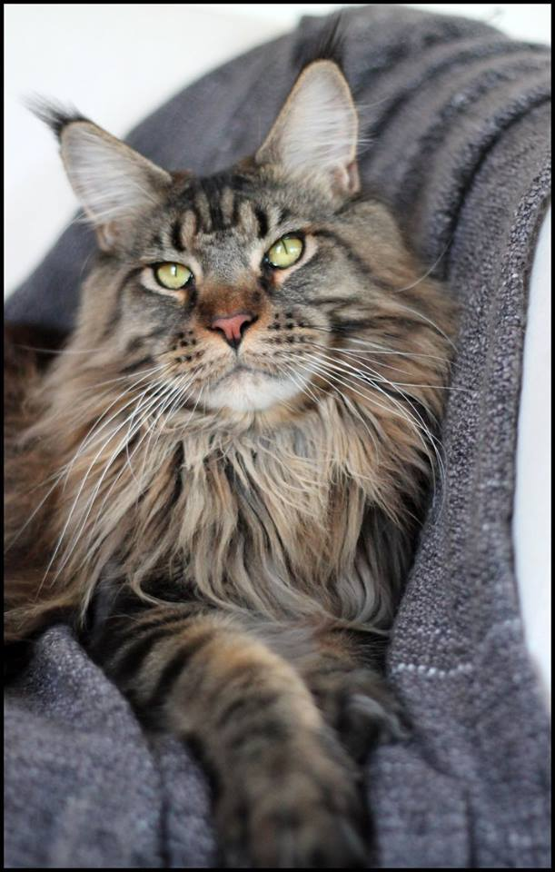 Le Maine Coon - Page 7 12439010