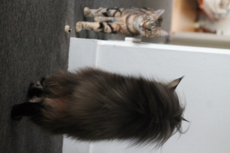 Le Maine Coon - Page 7 Img_1011