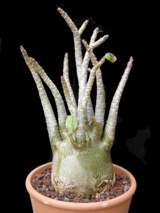 Adenium arabicum - Page 2 Adeniu13