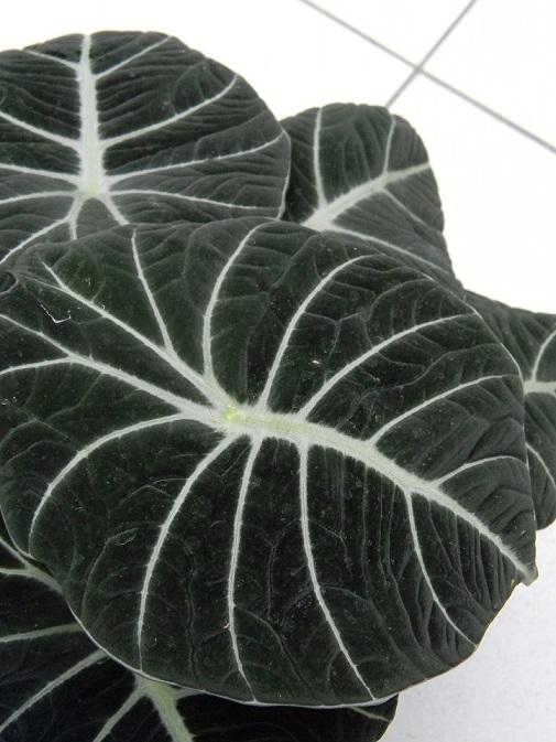 Alocasia reginula 'Black Velvet'  Alo510