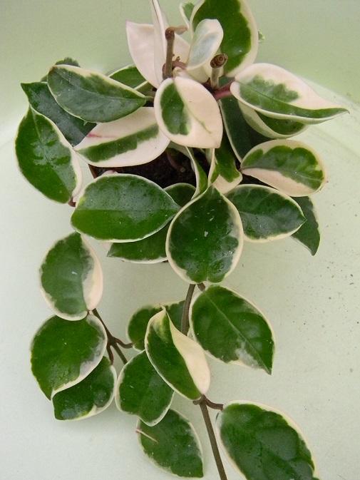 Hoya carnosa Hoa210