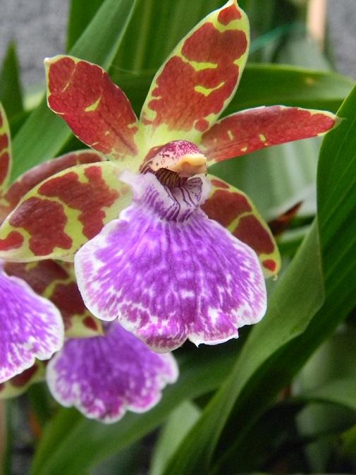 Plantes diverses Véranda.   Viol210