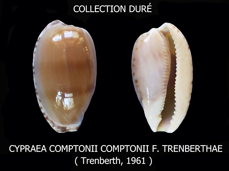 Notocypraea comptonii trenberthae - Trenberth, 1961 Bernar10