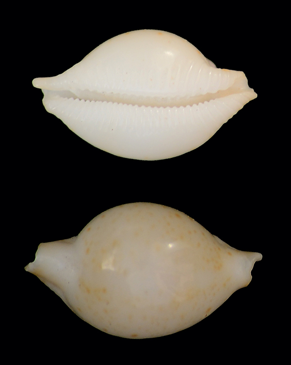 Et ces deux petites ? = Pustularia cicercula margarita  Dsc_5119