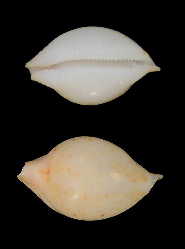 Et ces deux petites ? = Pustularia cicercula margarita  Dsc_5120
