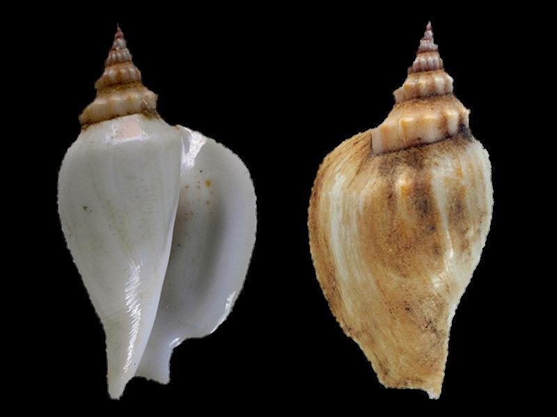Labiostrombus epidromis (linneaus,1758)  ?? Dscn7715
