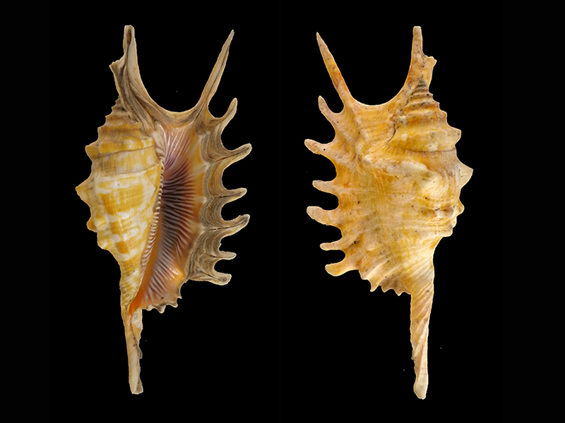 Strombidae Ophioglossolambis digitata - (Perry, 1811)  Dscn7829
