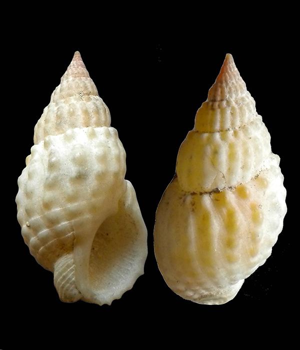 Nassarius papillosus  ??? Dscn8110
