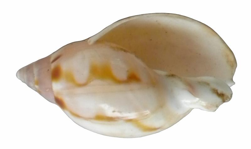 Besoin d'aide ... Pas d'idée (donc d'ID) = Casmaria erinaceus (Linné, 1758) Dscn8214