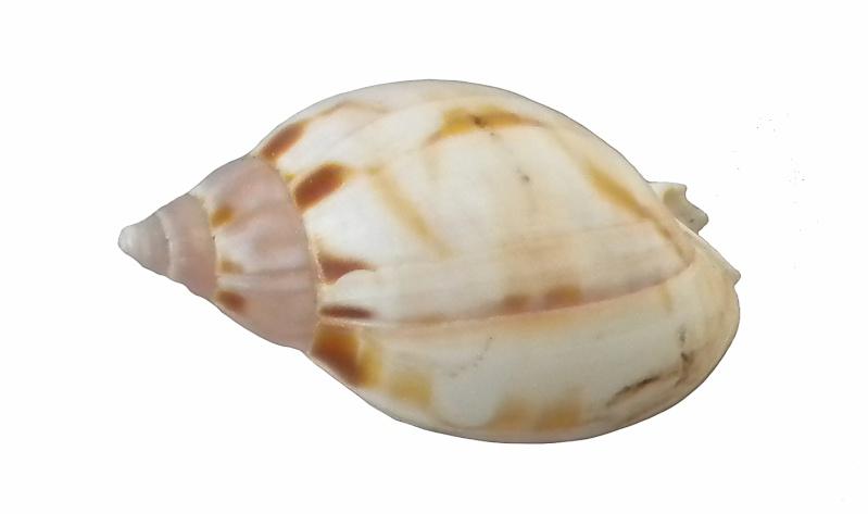 Besoin d'aide ... Pas d'idée (donc d'ID) = Casmaria erinaceus (Linné, 1758) Dscn8215