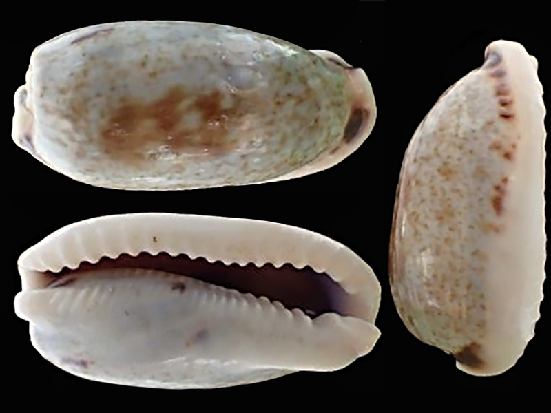 Erronea cylindrica lenella - Iredale, 1939 Errone14