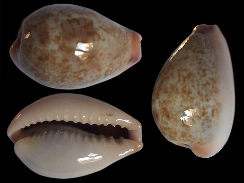 Erronea subviridis anceyi - (Vayssière, 1905) voir Erronea subviridis (Reeve, 1835) Errone17