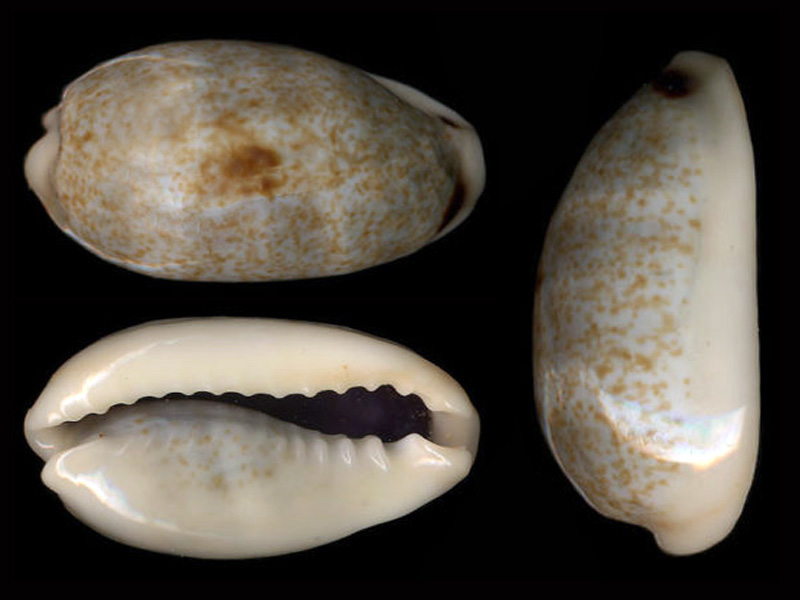 Erronea errones caerulescens - (Schröter, 1804) Errone19