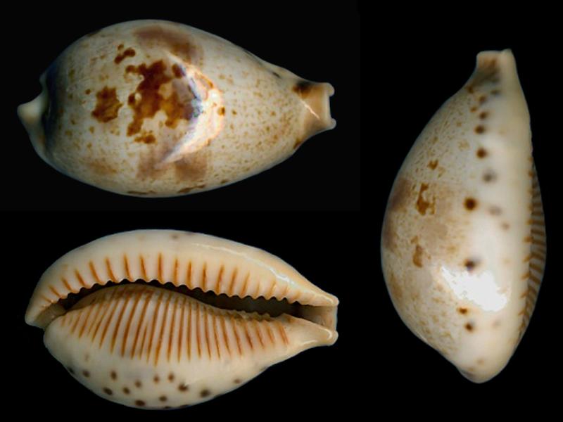 Ficadusta pulchella pericalles - (Melvill & Standen, 1904) Ficadu12
