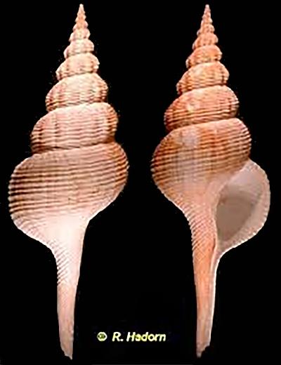 Fusinus nobilis - (Reeve, 1847) Fusinu10