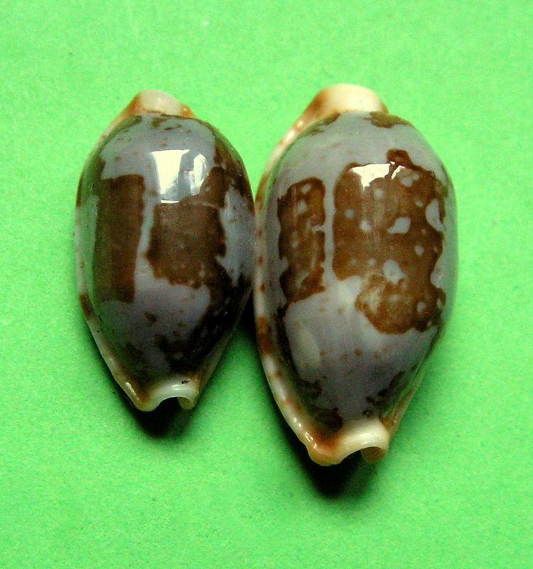 Bistolida stolida rubiginosa - (Gmelin, 1791) - Page 2 Gg210