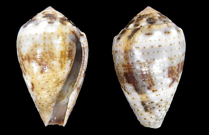 J'aurais bien cherché du côté Miliariconus coronatus Imgp0110