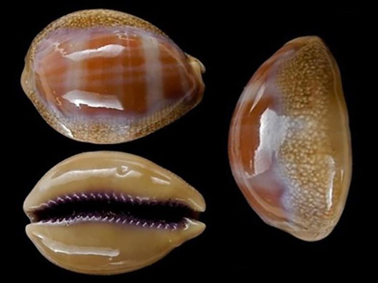 Lyncina propinqua var. pinguis (Lorenz, 2017) Lyncin10