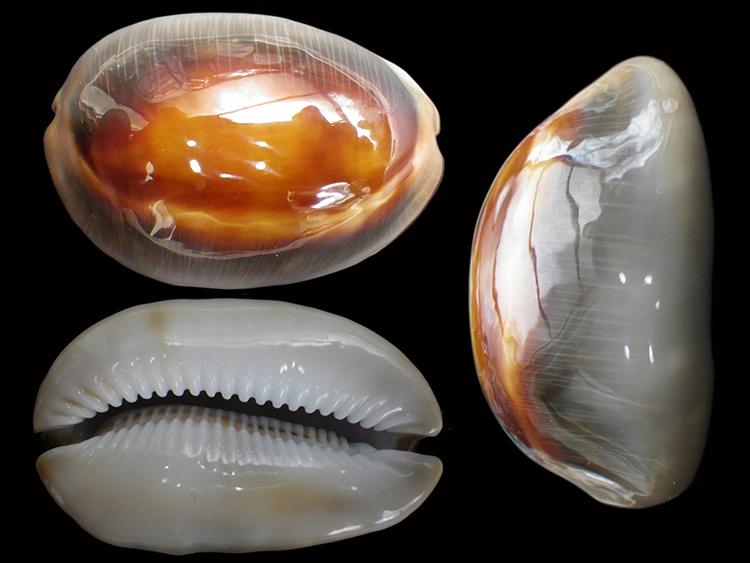 Lyncina ventriculus - (Lamarck, 1810) Lyncin21