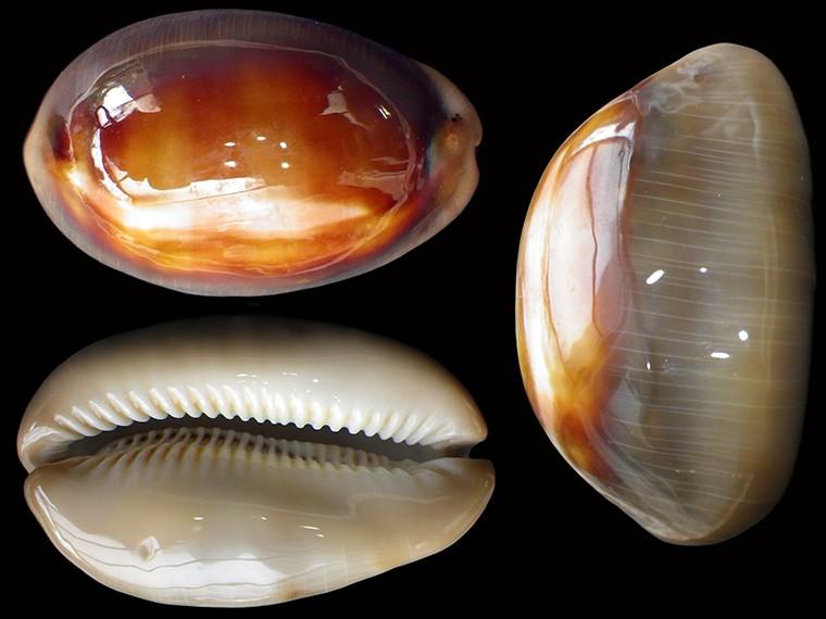Lyncina ventriculus - (Lamarck, 1810) Lyncin22