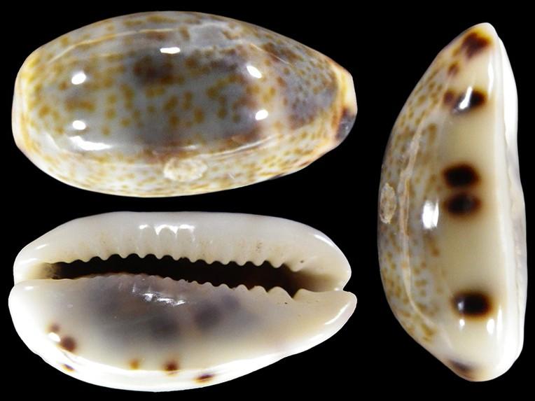 Melicerona listeri - (Gray, 1824) Melice14