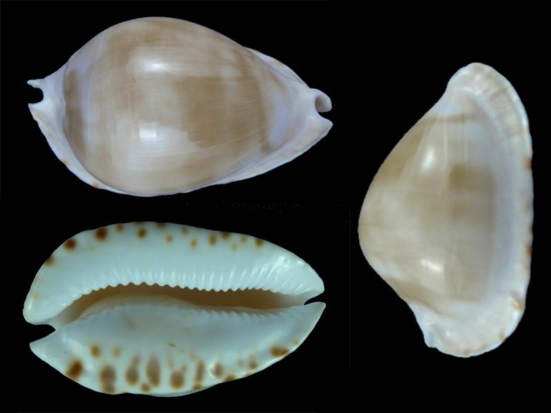 Zoila marginata albanyensis nimbosa - (Raybaudi Massilia, L., 1994) Nimbos10