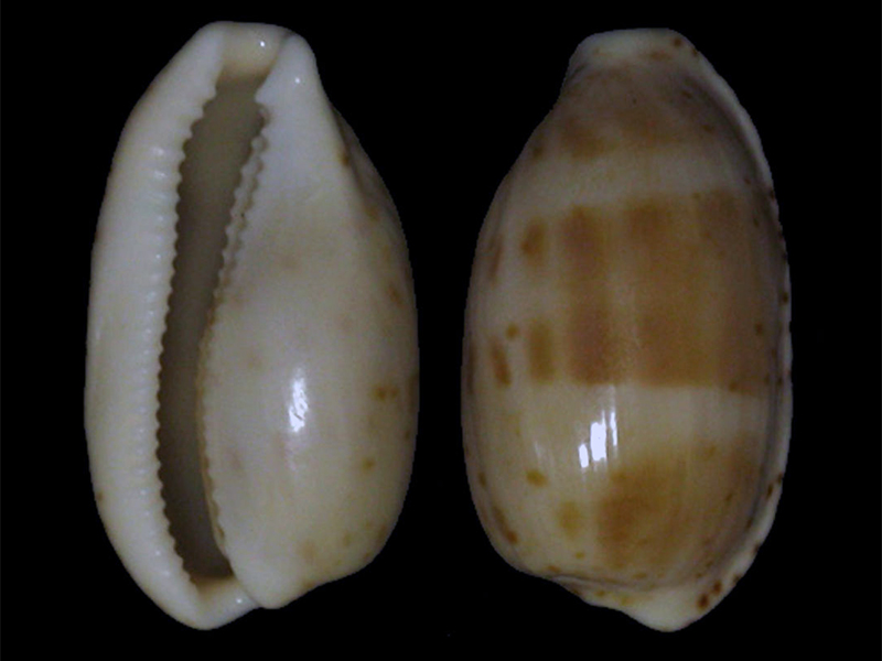 Notocypraea piperita ... piperita ou bicolor ??? Piperi10