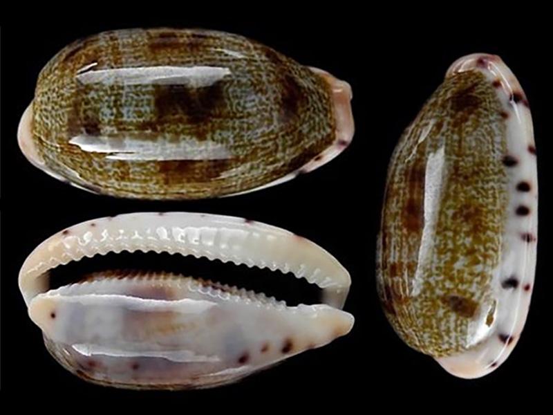 Talostolida teres teres - (Gmelin, 1791)  Talost12