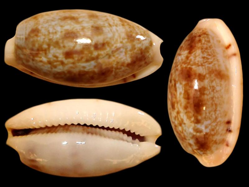 Talostolida alisonae  Burgess, 1983 voir Talostolida pellucens pellucens - (Melvill, 1888) Talost13