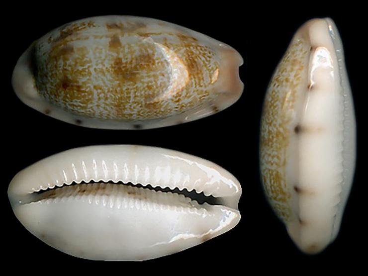 Talostolida teres janae - (Lorenz, 2002) Talost14