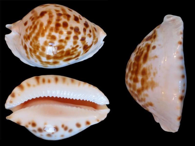 Zoila orientalis orientalis - L. Raybaudi, 1985 Zoila_10