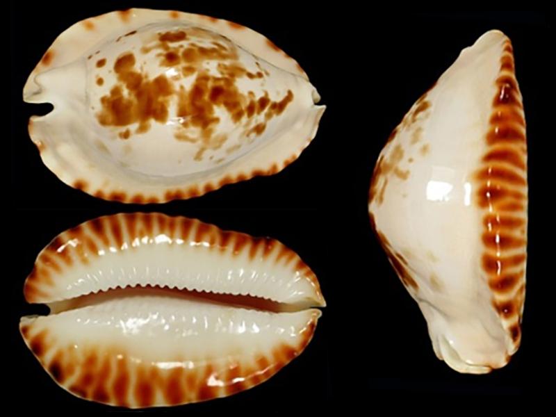 Zoila ketyana bataviensis - Lorenz & Morrison, 2001 Zoila_30