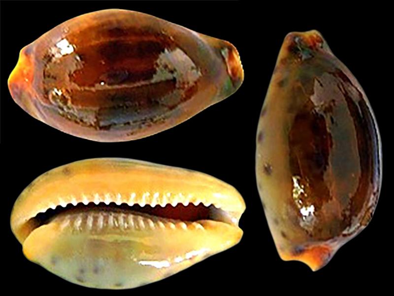 Zonaria sanguinolenta - (Gmelin, 1791) Zonari20