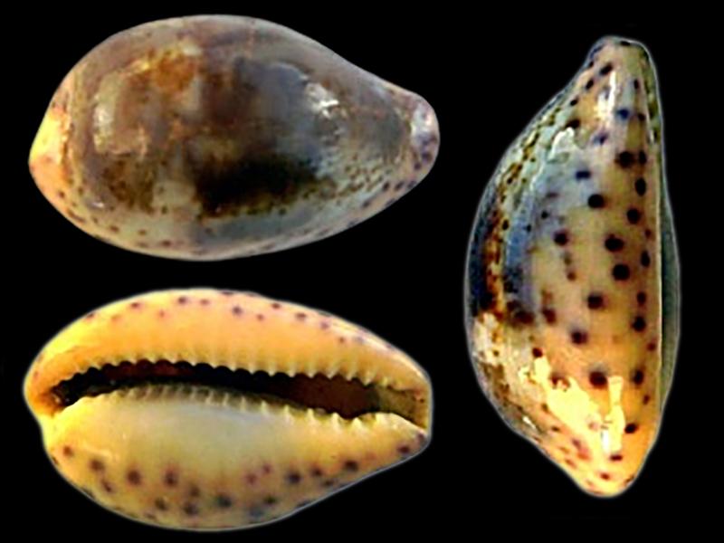 Cypraeidae Zonaria - Discussion sur le genre Zonari21