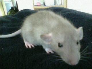 Couleurs/marquages de ces rats ?  12509310