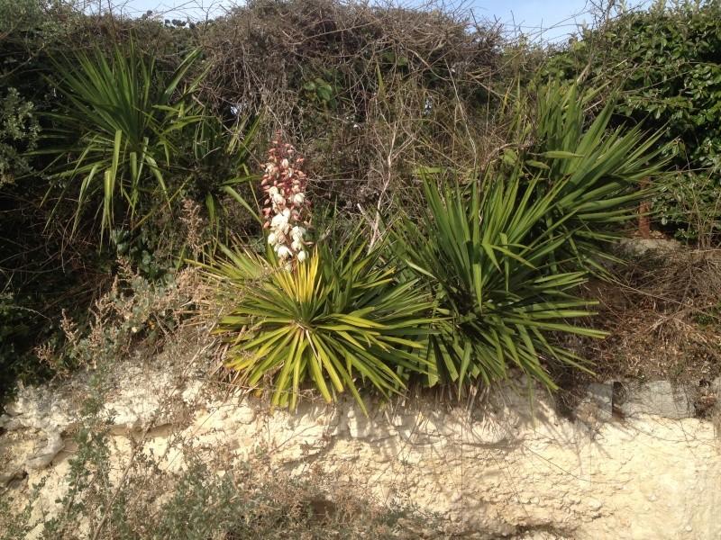 Yucca gloriosa - Page 2 Img_2010