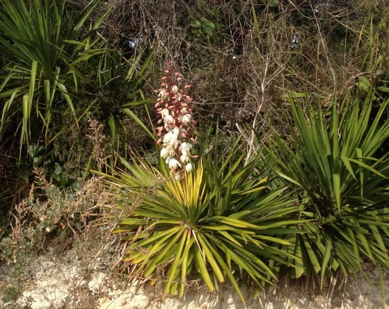 Yucca gloriosa - Page 2 Img_2011