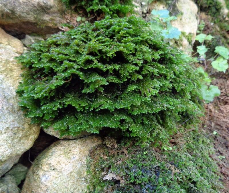 mousses et lichens [verrouillé] - Page 3 Mousse10