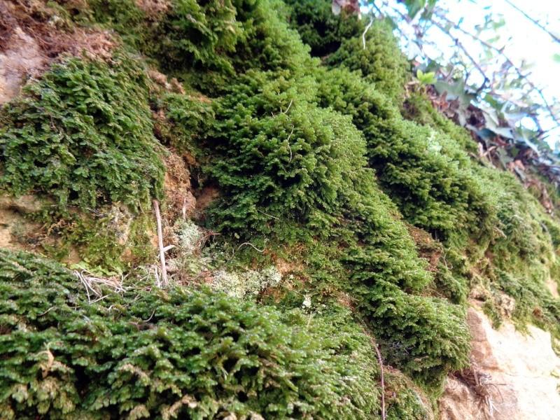 mousses et lichens [verrouillé] - Page 3 Mousse11