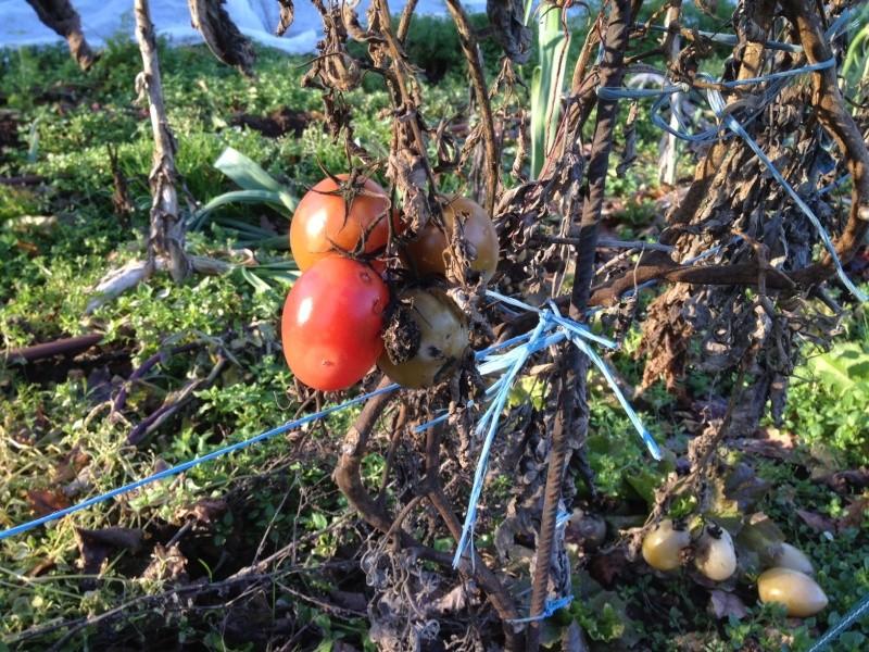 Solanum lycopersicum - les tomates - Page 6 Photo_10