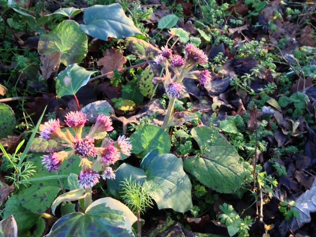 Petasites pyrenaicus (= Petasites fragrans) - héliotrope d'hiver Photo_11