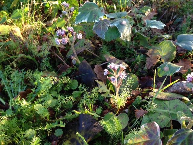 Petasites pyrenaicus (= Petasites fragrans) - héliotrope d'hiver Photo_12
