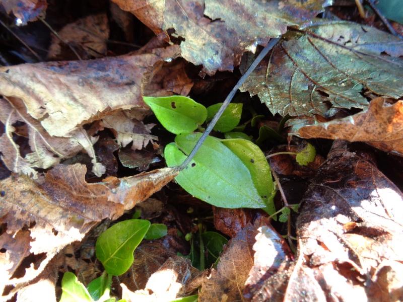 Pilea plataniflora Pilea_10