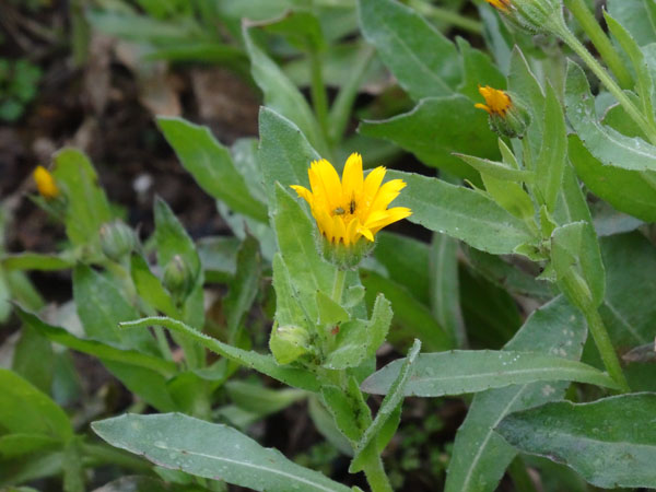 Calendula arvensis - souci des champs Calend11