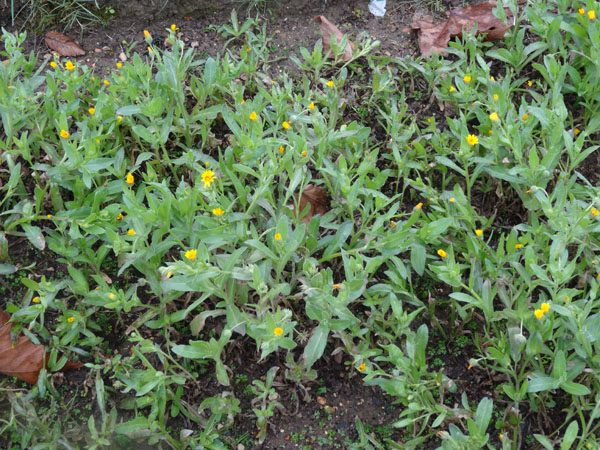 Calendula arvensis - souci des champs Calend12