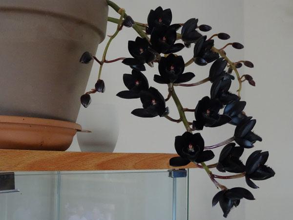 Fredclarkeara (= Catasetinae) After Dark 'SVO Black Pearl' - Page 3 Fdk12