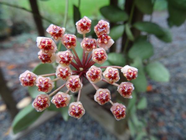 Hoya incurvula Hoya_i10