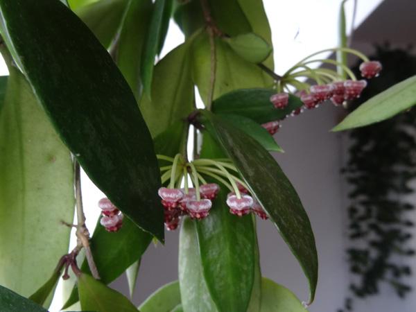 Hoya memoria (= Hoya gracilis) Hoya_m13