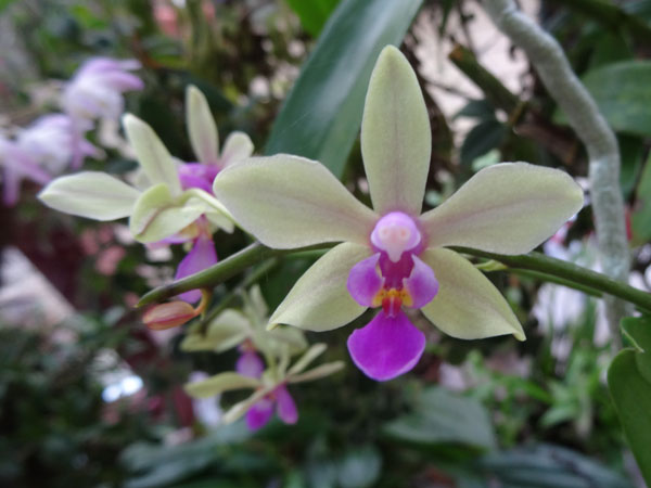 Phalaenopsis - hybrides primaires - Page 2 Phal_s11