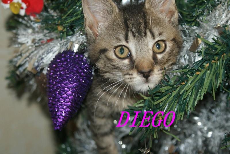 DIEGO, très beau petit tigre de 4 mois Diego110
